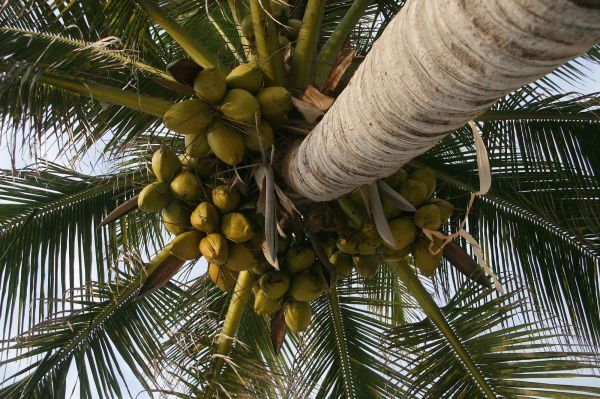 Coconut palm in Mexico
