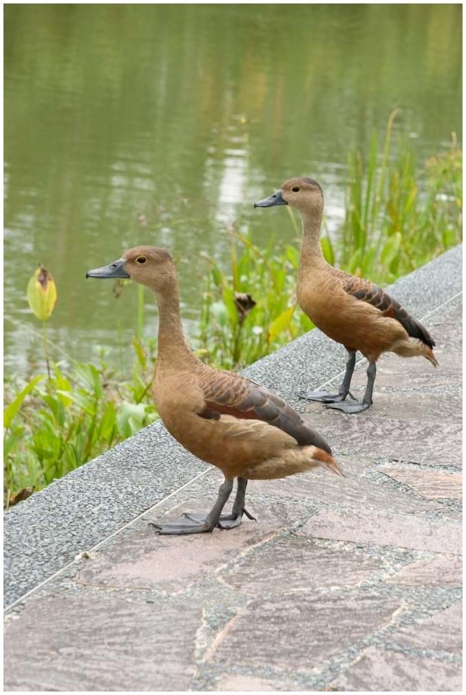 Ducks in Singapore