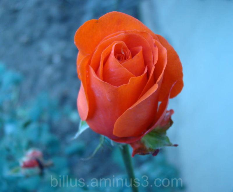 Rose Beauty