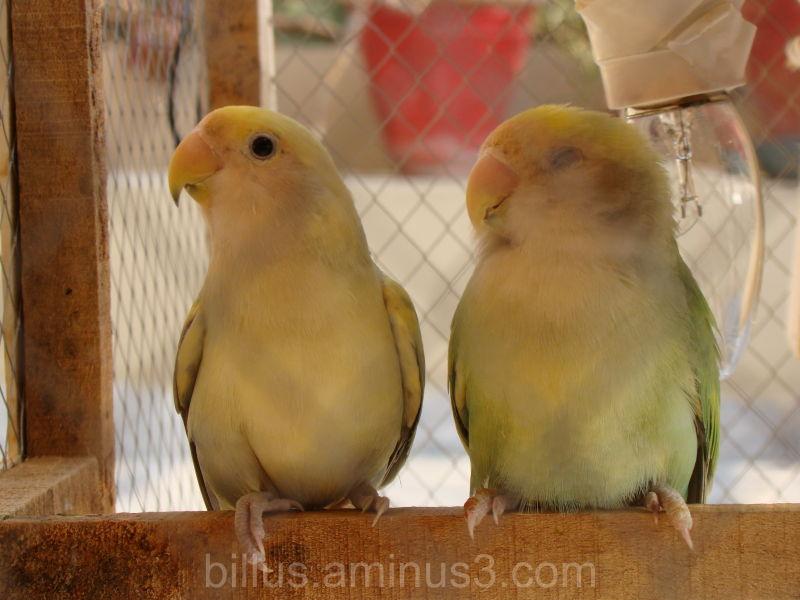 my love birds