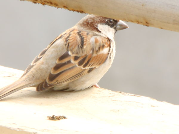 innocent little sparrow in my home
