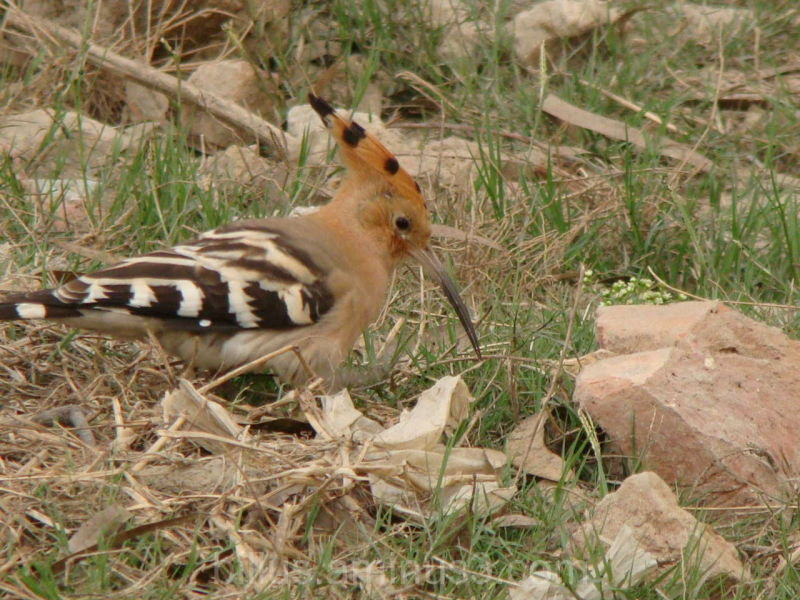 Hoopoe finding food
