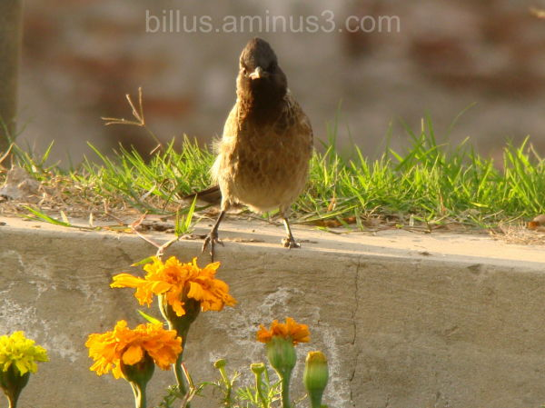 Bulbul staring while I capture him from a distance
