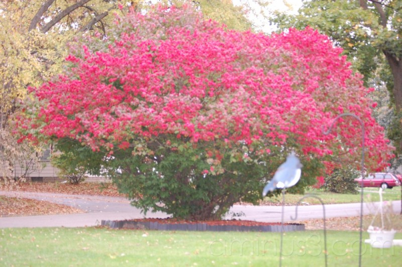 The Burning Bush in our front yard. Taken summer,