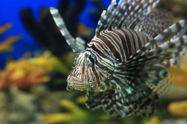 A Zebra-fish?