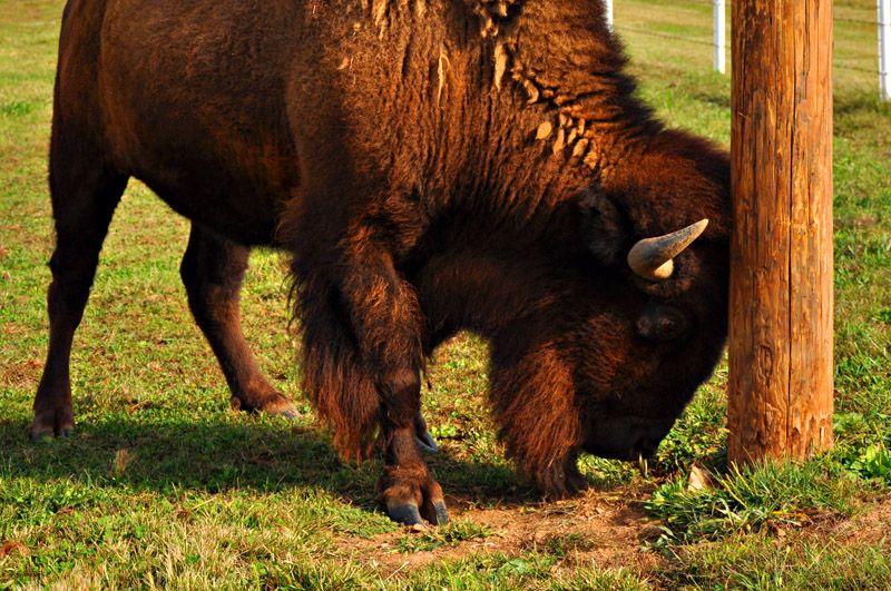 Buffalo attacks Utility Pole