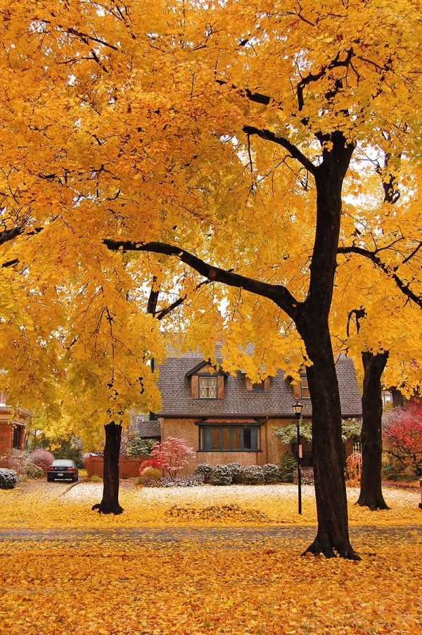 Yellow leaves ready to fall
