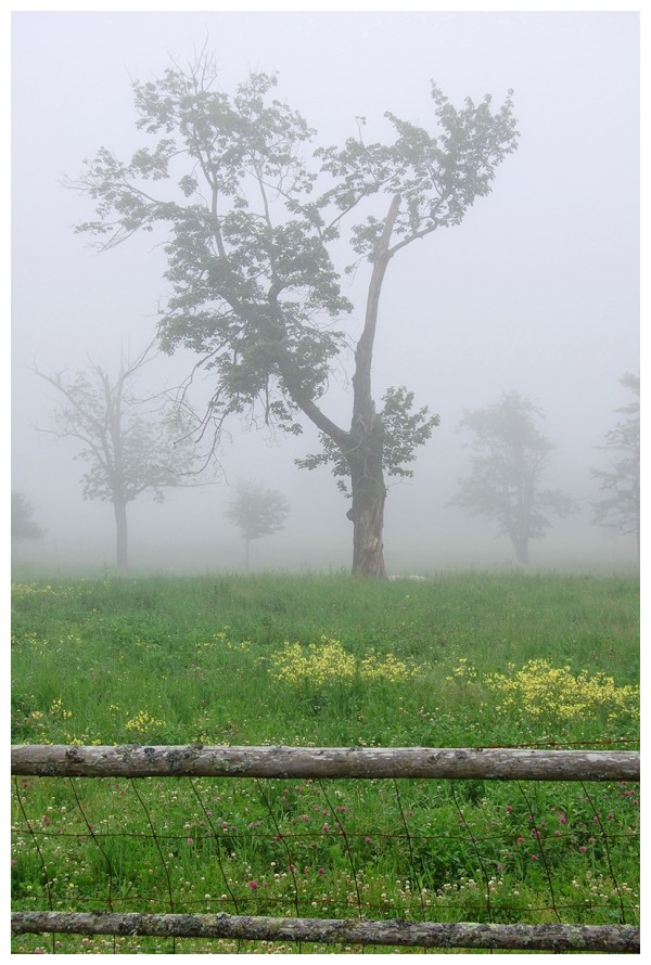 tree in fog behind fence