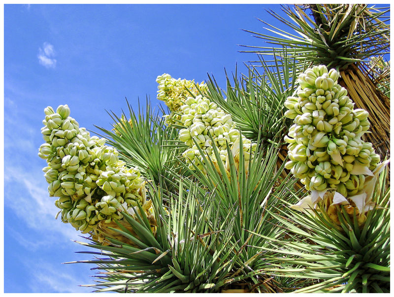 Joshua Tree bloom