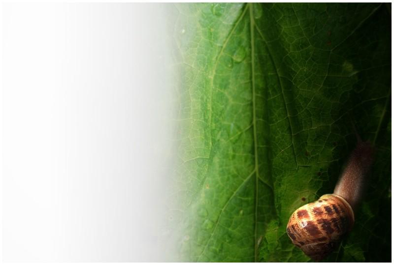 escargot snail feuille