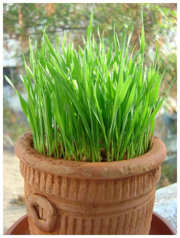 wheat grass plant