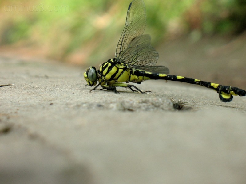 Chinese dragonfly
