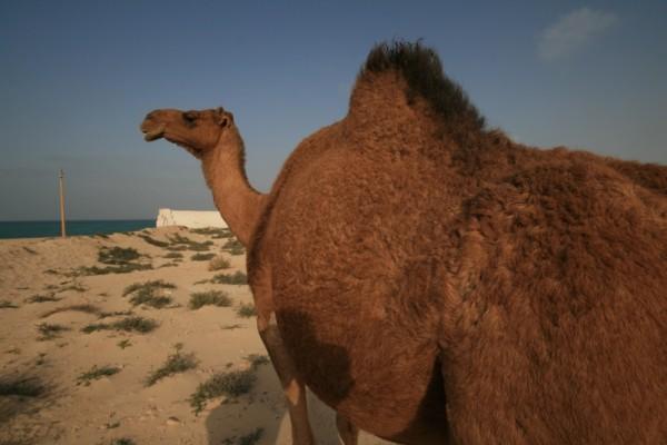 anciant camel!