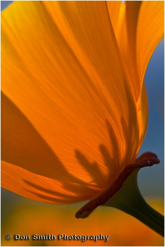 A lone poppy stands backlit against a morning sun.