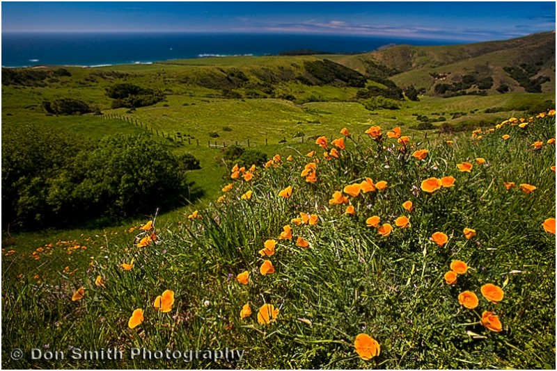 Califonia golden poppies at Big Sur