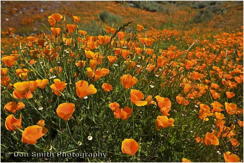 California golden poppies grow in Silicon Valley
