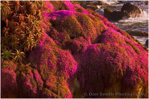Miniature flowering ice plant at Pacific Grove, Ca