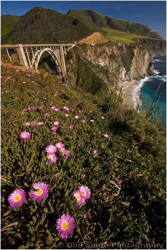 Flowering iceplant on cliff near Bixby Brindge.
