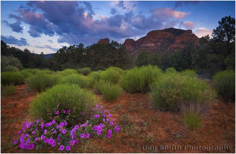 Desert bloom at dawn in Sedona, Arizona