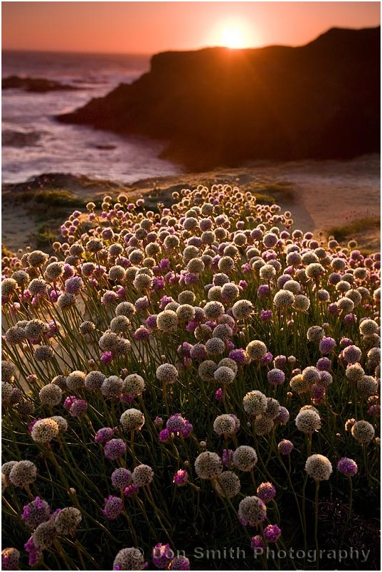 Wildflowers at sunset at Mendocino Headlands