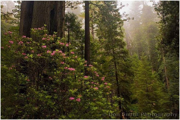 Rhododendrons and coastal redwoods.