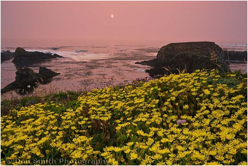 Daisies at sunset near Mendocino.