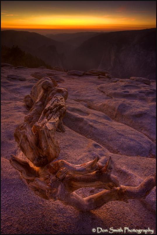Fallen Jeffrey Pine