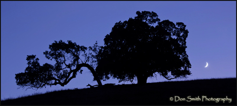 California Oaks and Crescent Moon