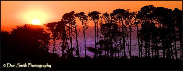 Setting Sun Through Coastal Pines