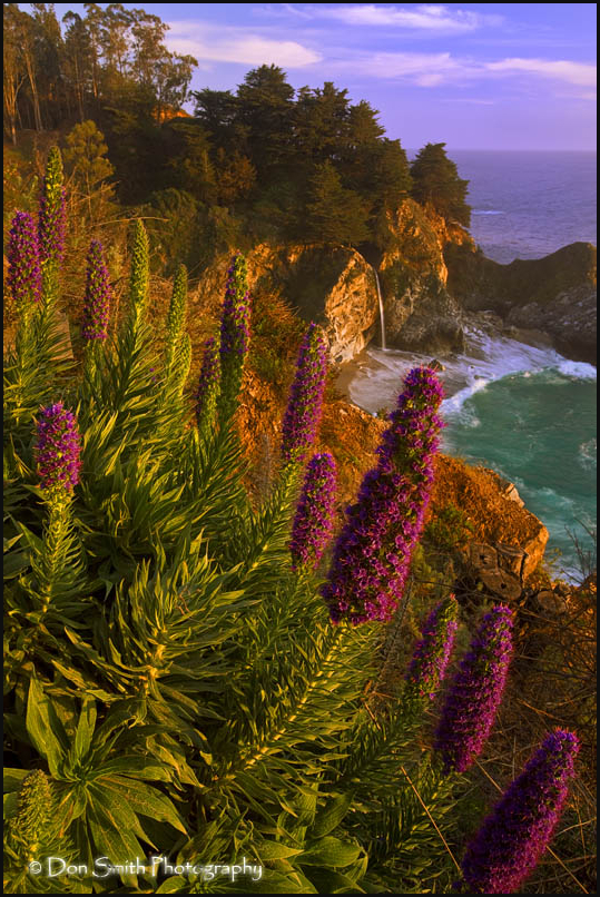 Spring Lupine at McWay Falls
