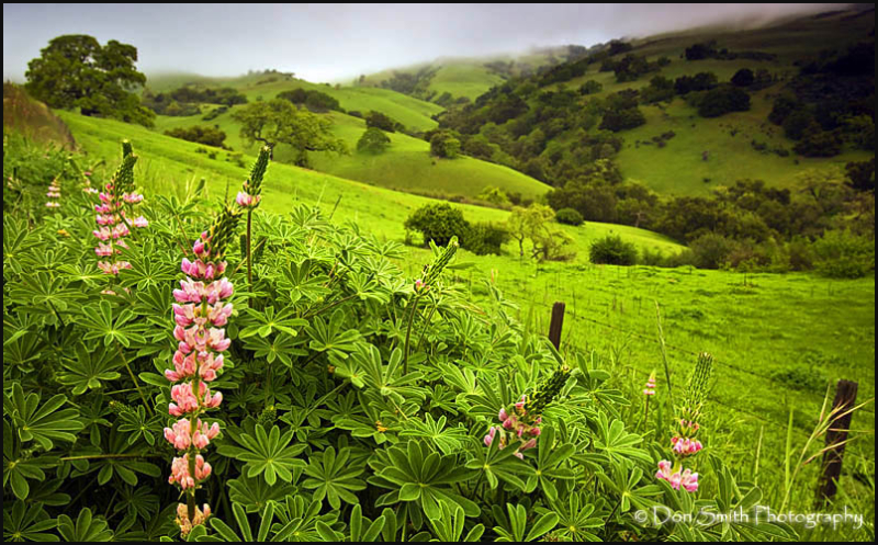 Morning Fog and Lupine