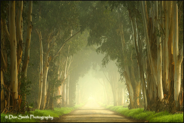 eucalyptus trees, fog, country lane