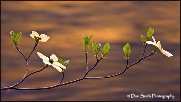 dogwood blossoms, merced river, yosemite, spring