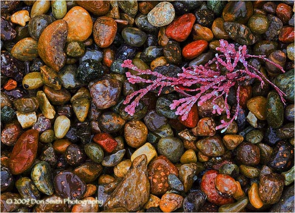Colorful pebbles and coral at Weston Beach.