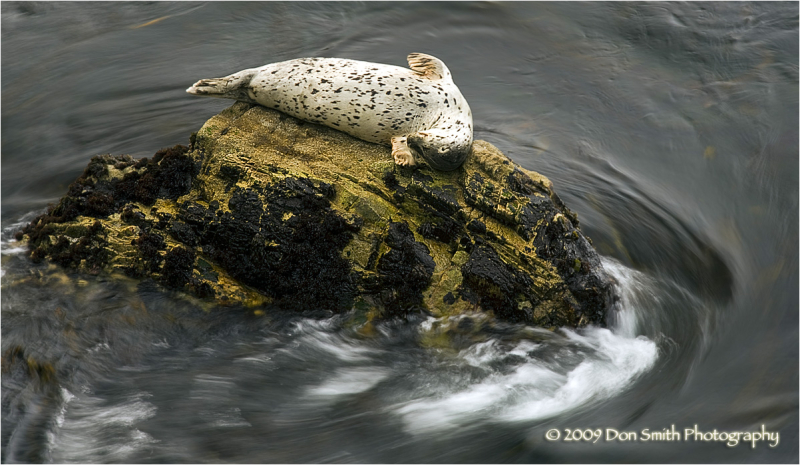 Harbor seal at Point Lobos State Reserve.