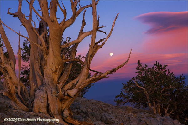 Full moon rising over bristlecone pines.