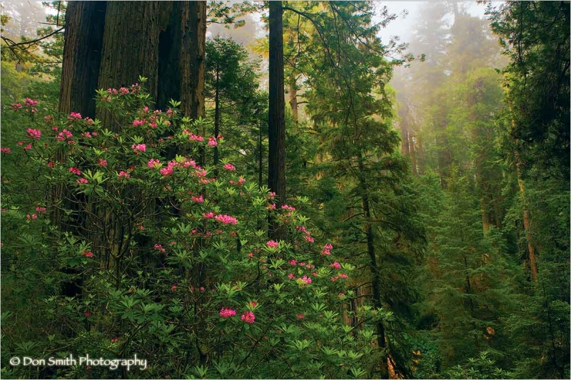 Misty fog, redwoods and rhododendrons.