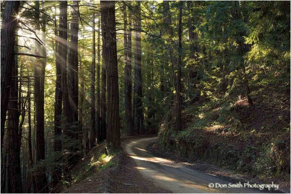 A sunstar through giant redwoods, Big Sur.