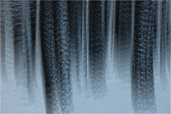 Abstract of Yosemite pines after snow strom.