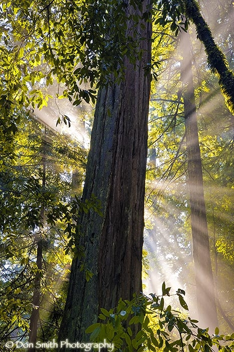 Crepuscular rays and redwoods, Big Basin SP.
