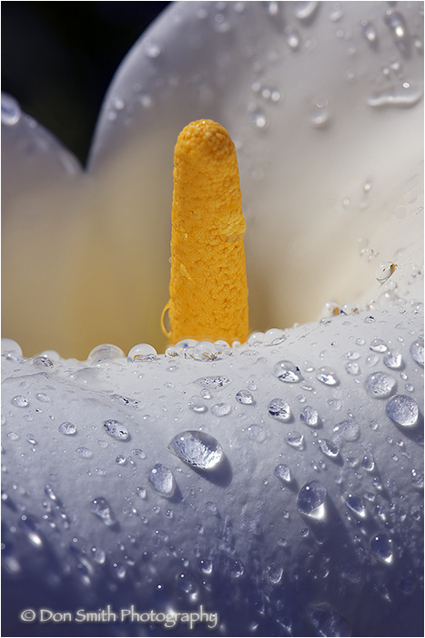 Calla Lily drenched with raindrops.