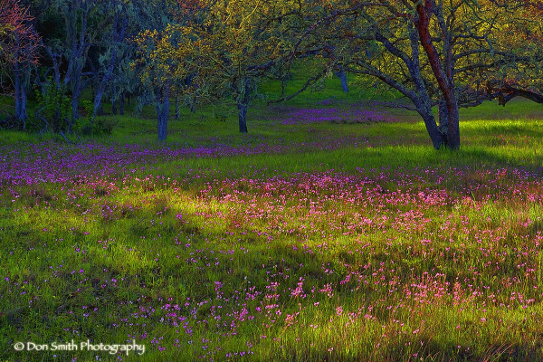 Wildflowers and Moss-Covered Oaks in Carmel Valley