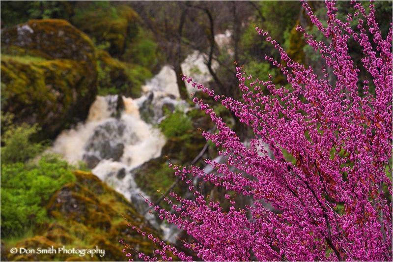 Wetern Redbud and Seasonal Waterfall.