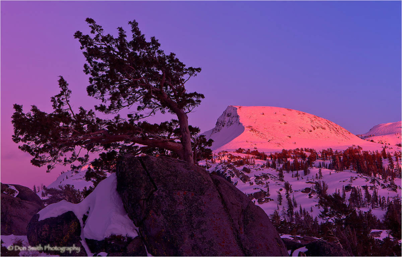 Bent Jeffrey Pine and Alpenglow, Carson Pass