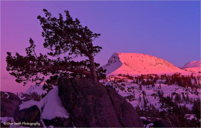 Bent Jeffrey Pine and Alpenglow, Carson Pass