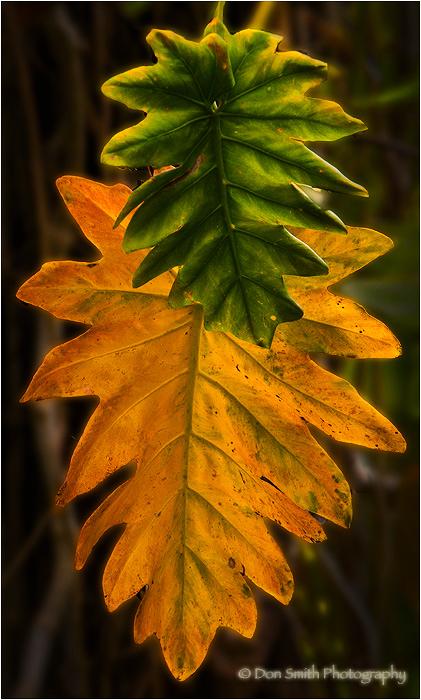 Ti Leaves, Akaka State Park, Hawaii
