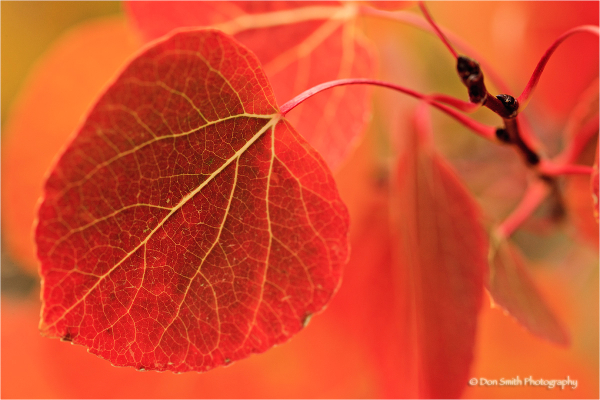 Aspen leaf turns bright red with fall color.