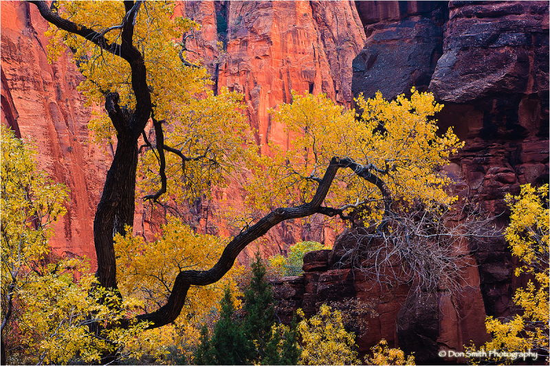 Backlit Cottonwood in Zion Canyon