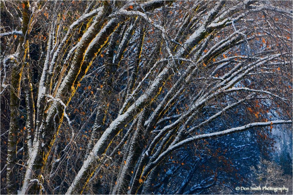 Snow-covered alders, Yosemite National Park.