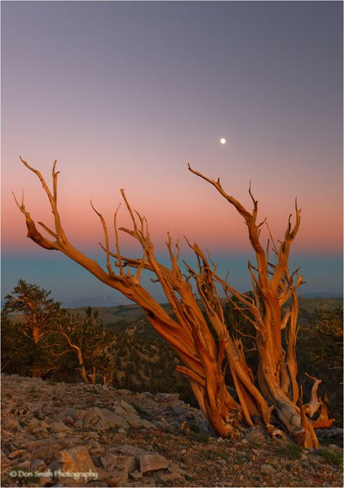 Full moon rising over Bristlecone Pine, Ca.